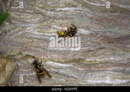 Common Wasps, Vespula vulgaris, two adult workers building nest, Worcestershire, UK. - Stock Photo