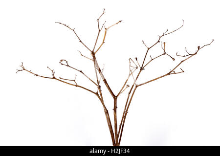 Close up front view studio shot of twig of dry dead plant on white background - Stock Photo