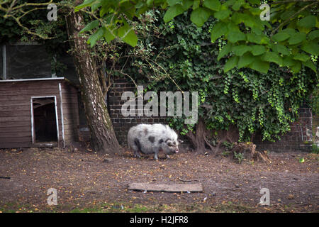 bentheimer pig before shed and barn with ivy on farm in belgium - Stock Photo