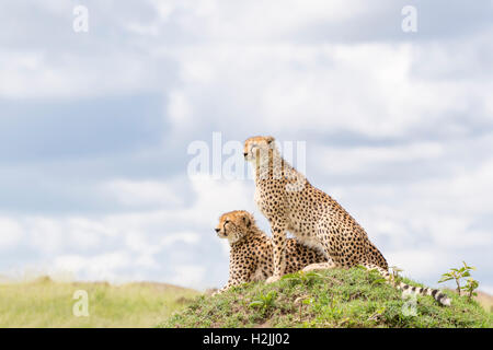 Cheetah (Acinonix jubatus) sitting on hill looking over savanna, Maasai Mara National Reserve, Kenya - Stock Photo