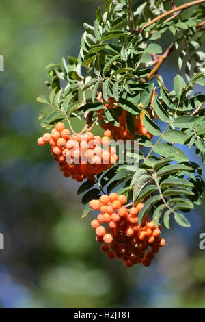 Rowan or Mountain Ash Tree branch with leaves and orange berries - Stock Photo