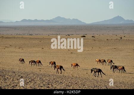 Desert Horses, Namib desert horses (Equus ferus) running through the desert, herd near the waterhole of Garub, near - Stock Photo
