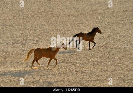 Desert Horses, Namib desert horses (Equus ferus) running through the desert, near the waterhole of Garub, near Aus, - Stock Photo
