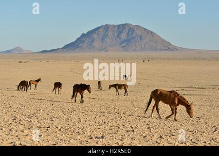 Desert Horses, Namib desert horses (Equus ferus) in the desert, herd near the waterhole of Garub, near Aus, Karas - Stock Photo