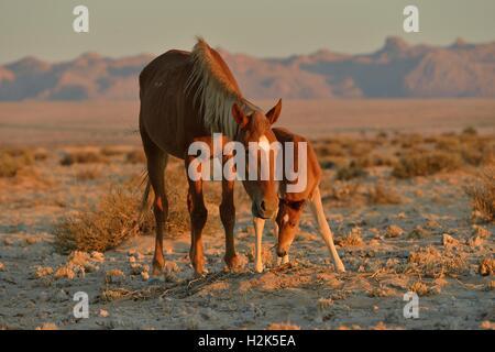 Desert Horses (Equus ferus), mare with foal, searching for food in poor soil, near waterhole Garub, near Aus, Karas - Stock Photo