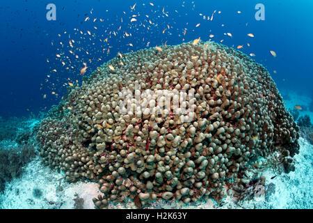 Shoal anthias (Pseudanthias sp.) swimming over Dome Coral (Porites nodifera), Wakatobi Island, Tukangbesi Archipelago - Stock Photo