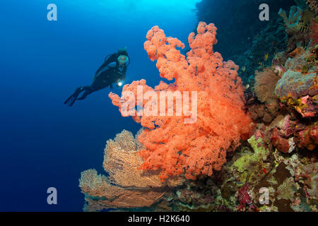 Divers looking at huge Soft Coral (Dendronepthya sp.) at reef drop, Wakatobi Island, Tukangbesi Archipelago - Stock Photo