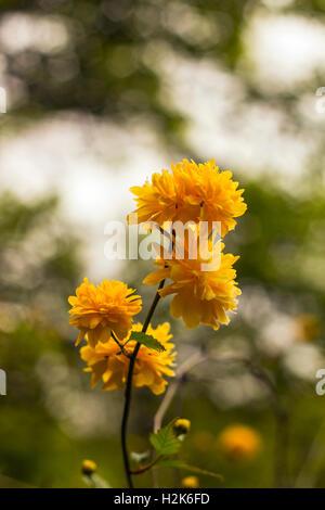 Yellow flowers bush Kerria japonica - Stock Photo