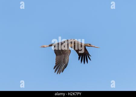 Single juvenile Black Stork Ciconia nigra in flight on migration against blue sky. Eilat, Israel - Stock Photo