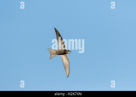 Pallid Swift Apus pallidus in flight against blue sky with mouth open about to catch an insect, Eilat, Israel - Stock Photo