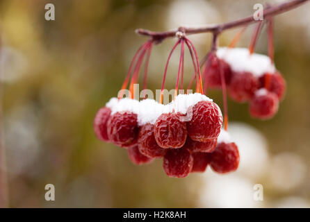 Snow Covered Crab Apples - Stock Photo
