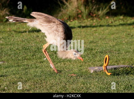 South American Red-legged seriema or crested cariama (Cariama cristata) busy 'killing' a plastic toy snake during - Stock Photo