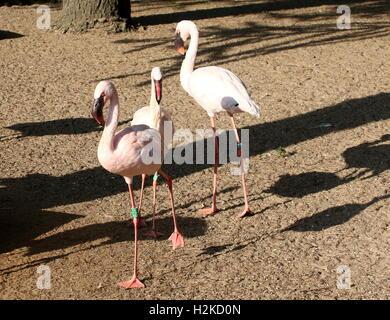 African  Lesser flamingos (Phoeniconaias minor) - Stock Photo