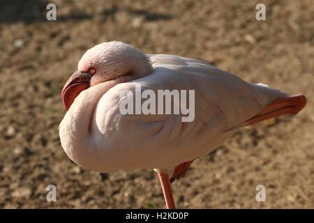 African  Lesser flamingo (Phoeniconaias minor) - Stock Photo