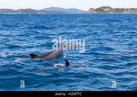 Bay of Islands dolphins - Stock Photo