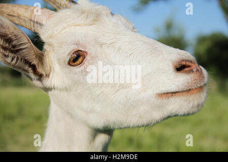 Funny white goat portrait close up photo - Stock Photo