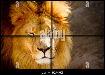 Lion close up with cross cuadrants for ad - Stock Photo