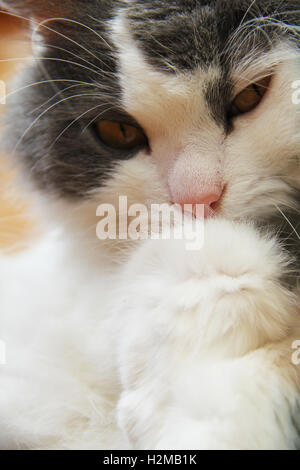 Cat of grey and white colours close-up photo. - Stock Photo