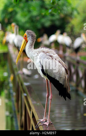 a lot of white storks sitting on bridge railings ciconia at rainy day. stork. - Stock Photo