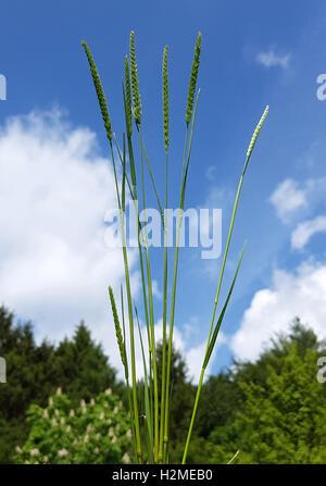 Wiesen-Kammgras, Kammgras, Cynosurus, cristatus - Stock Photo