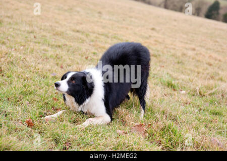 Border collie in field waiting for instructions - Stock Photo