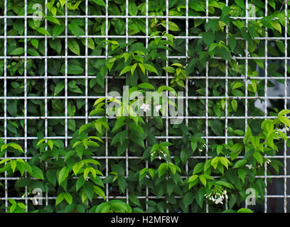 White steel grid fence covered with Wrightia religiosa, a kind of flowering plant - Stock Photo