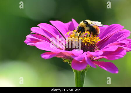 Bumblebee collecting pollen on a zinnia flower - Stock Photo