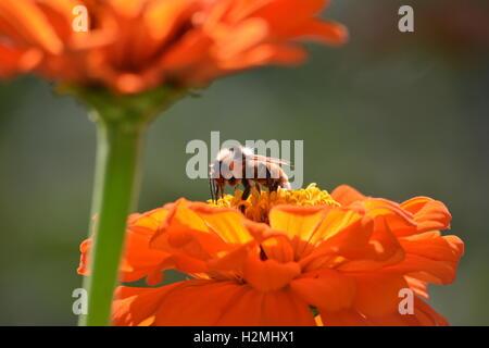 Bumblebee on an orange zinnia flower - Stock Photo