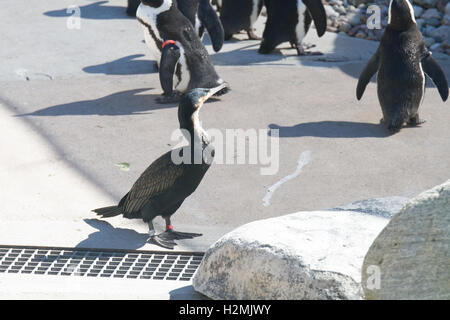 African penguin 'jackass penguin' - Stock Photo