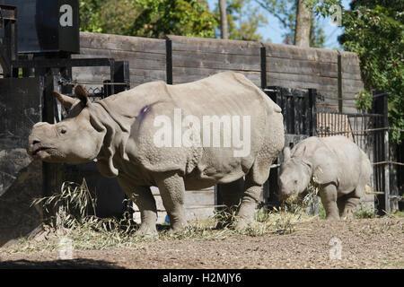 rhino mother baby - Stock Photo
