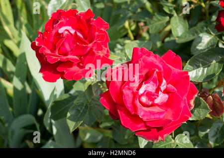 Two red roses Rosa Malcolm Sargent in flower in June - Stock Photo