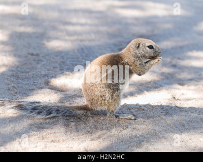 African ground squirrel on the Namib dessert, Namibia, eating. - Stock Photo