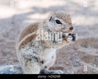 African ground squirrel on the Namib desert, Namibia, eating. - Stock Photo