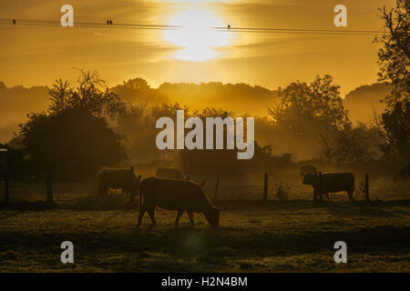 cattle grazing at sunrise - Stock Photo