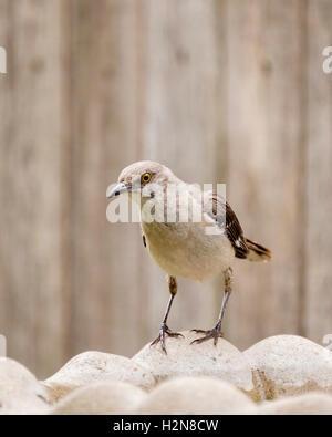 An immature fledgling Northern Mockingbird, Mimus pollyglottos, preparing to drink from a bird bath. Oklahoma, USA. - Stock Photo