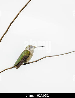 An immature male Ruby-throated Hummingbird, Archilochus colubris, perched on a branch. Cutout. Oklahoma, USA. - Stock Photo