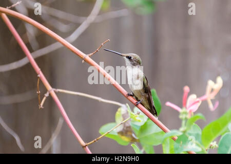 An immature male Ruby-throated Hummingbird, Archilochus colubris, perching on a Goldflame Honeysuckle, Lonicera - Stock Photo