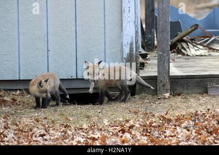 Fox Kit Chewing on a Rabbit Leg