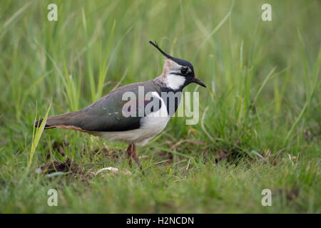 Northern Lapwing / Kiebitz ( Vanellus vanellus ), adult female, in an extensive meadow, typical surrounding. - Stock Photo