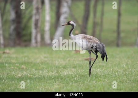 Common Crane ( Grus grus ) adult in beautiful breeding dress, on a short mowed meadow, in typical environment, Scandinavia. - Stock Photo