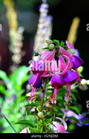 Fuchsia hybrida flowers in flowerbed. Exotic flower with striking two-tone colors. - Stock Photo