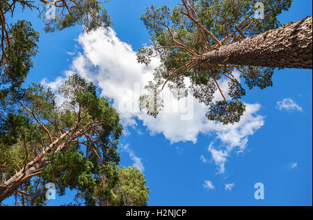 Crowns of tall pine trees above his head in the forest against blue sky - Stock Photo