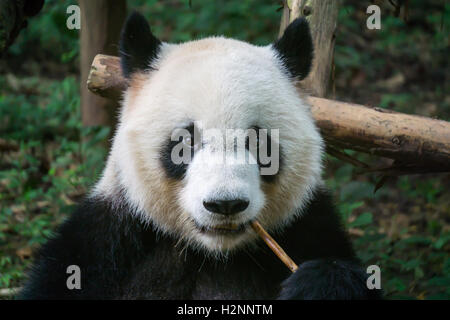 Giant panda eating panda - Stock Photo