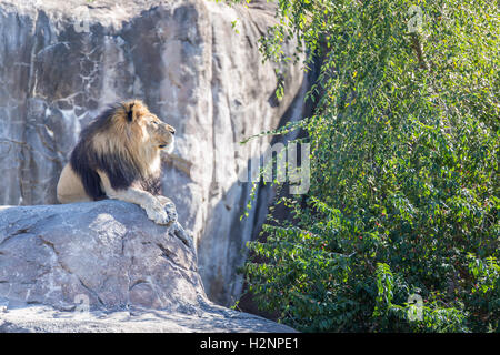 Male lion laying on a rock with open space on the side. - Stock Photo