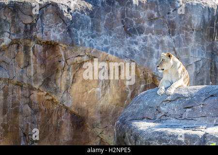 Female lioness laying on a rock with open space on the side. - Stock Photo