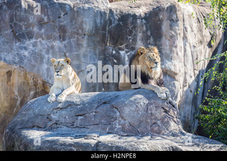 Male and female lion laying on a rock. - Stock Photo