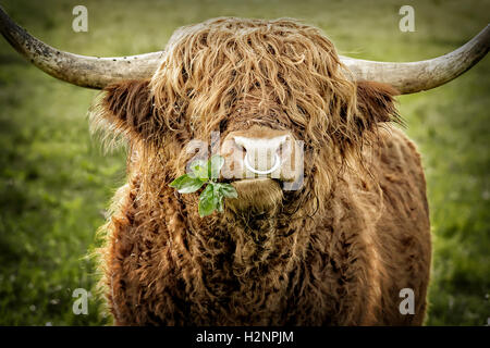 Close up of leaves chewing highland cattle bull with iron nose ring. - Stock Photo