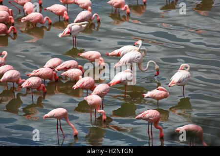 Lesser flamingos (Phoeniconaias minor) and pink flamingos (Phoenicopterus roseus), Big Momella Lakes, Arusha National - Stock Photo