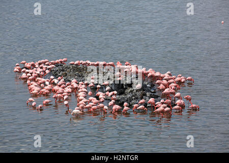 Lesser flamingos (Phoeniconaias minor) and flamingos (Phoenicopterus roseus), Big Momella Lake, Arusha National - Stock Photo