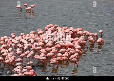 Lesser flamingos (Phoeniconaias minor), Big Momella Lake, Arusha National Park, Tanzania - Stock Photo